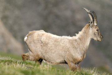 Apline ibex in the Alps. France