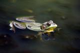Amazing Amphibian poster