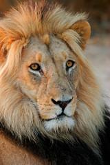 Big male African lion, Kalahari desert, South Africa