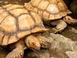 Tortoise Mates at Manila Zoo