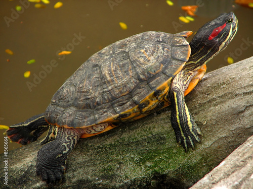 Curious Fresh Water Turtle at Manila Zoo