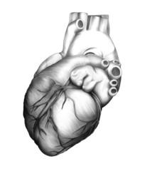 Cuore - Illustrazione anatomica