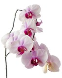 bunch of lila orchid flowers poster