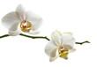 Weisse Orchidee Zweig