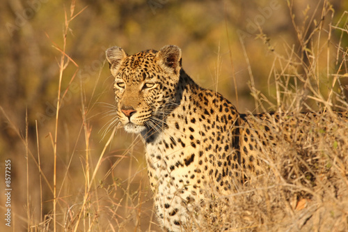 Poster Luipaard Leopard in the Sabi Sands