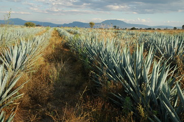 champs d'agave
