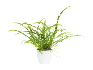 small maidenhair fern (Adiantum) in a white pot, isolated