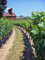 Attractive Vineyard in Northern California, vertical view