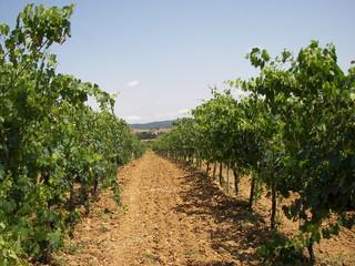 La coltivazione della vite in Toscana