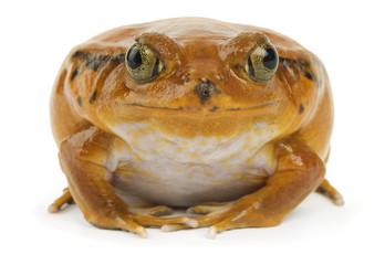 Orange Frog on White
