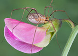 Daddy long legs on pea blossom poster