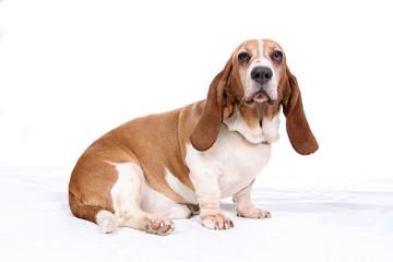 Basset hound on white