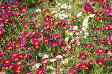 Dimorphotheca ecklonis flowers