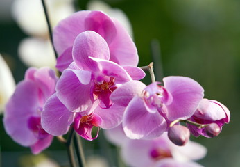 Orchid cymbidium flowers