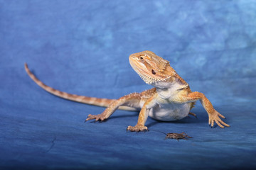 Beard Dragon with Cricket