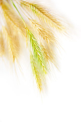 some wheat isolated on white