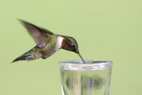 Thirsty Ruby-throated Hummingbird (archilochus colubris) poster