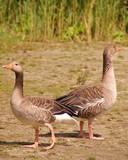 Two alert greyleg geese poster