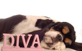 american cocker spaniel sleeping with diva sign poster