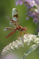 Dragonfly - Amber-wing