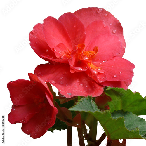flower of begonia