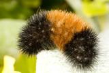 Woolly bear caterpillar poster