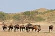 Blue wildebeest, Kalahari desert, South Africa