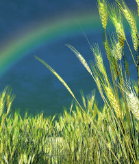 Rainbow over the wheat field