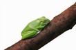 The little green frog on branches