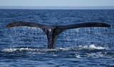 Fototapeta ssaki - morskich - Wodny Ssak