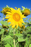 slender sunflower poster