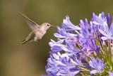 Hovering Hummingbird poster