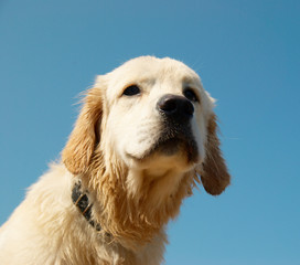 Golden retriever isolated on blue.