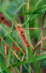 red hairy caterpillar