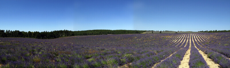Panorama Lavender fields for essential oils
