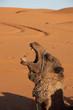 Camel emotion