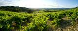 Fototapety champ de vigne panoramique