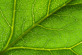 macro green leaf vein poster