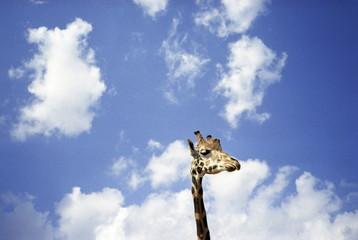 Giraffe's head in front of blue sky