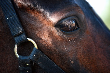 Closeup horse's eye