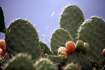Closeup of cactus with prickly pear fruit