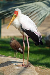 Yellow billed stork and hamerkop
