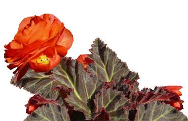 flower of begonia3