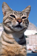 Closeup of tabby cat