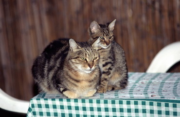 Cat with kitten on table