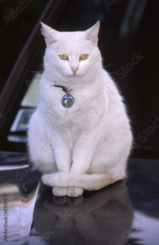 White cat with charm collar