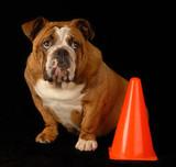 red brindle bulldog sitting beside orange pylon poster