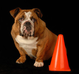red brindle bulldog sitting beside orange pylon