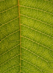 Green leaf texture as background