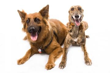 Greyhound & Alsation
